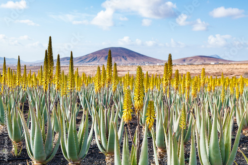 Deurstickers Canarische Eilanden Aloe vera farm plantation