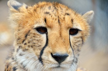 Cheetah colse-up in the Moholoholo Wildlife Rehab Centre, South Africa