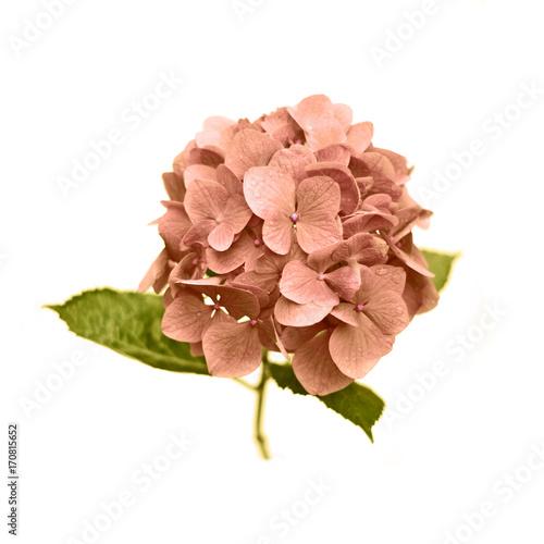 Pink Hydrangea on white background