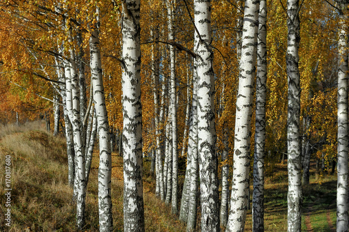 Fotobehang Berkenbos Golden autumn. Sunny day. Birch Grove.