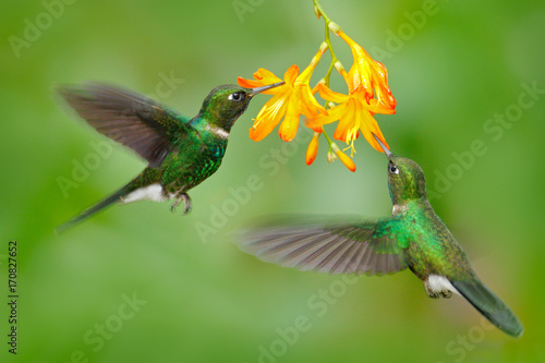 Dwa latający hummingbird, ptak w locie. Scena akcji z kolibrem. Turmalinu Sunangel łasowania nektar od pięknego żółtego kwiatu w Ekwador. Przyroda, las zwrotnikowy. Hummingbird z pomarańczowym kwiatem.