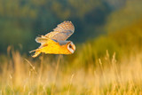 Hunting Barn Owl in morning nice light. Wildlife scene from wild nature. Morning light image with owl. Flying bird above the meadow, United Kingdom. Wildlife scene from nature. Bird in habitat. - 170829443