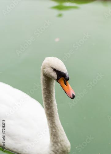 Fotobehang Zwaan white swan portrait