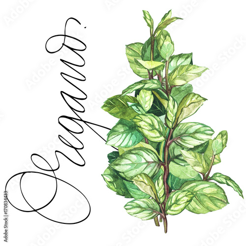 Oregano. Botanical drawing of a oregano. Watercolor beautiful illustration of culinary herbs used for cooking and garnish. Isolated on white background.