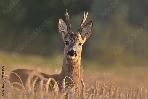 Fotobehang Hert Wildlife scene from nature. Forest horned animal in the nature habitat. Beautiful deer standing in the field. Portrait of the deer.