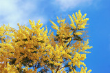 Springtime. Branches of flowering Acacia dealbata (mimosa) against  blue sky - 170839087