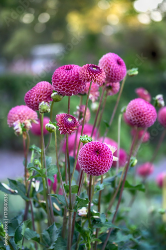 Beautiful pink dahlias in the park. Nature background. Evening light
