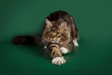 Tabby cute fluffy cat Maine Coon lying on a green Studio background. - 170845668
