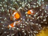 Clown anemonefish at underwater, Philippines - 170847842