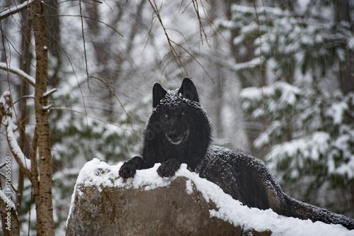 Plexiglas Wolf Wolf, Rocky Mountain Grey