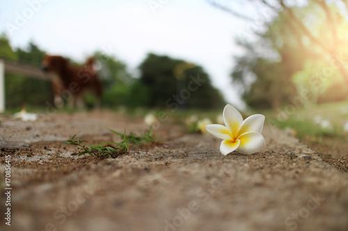 Fotobehang Plumeria White plumeria flowers fall on the footpath.