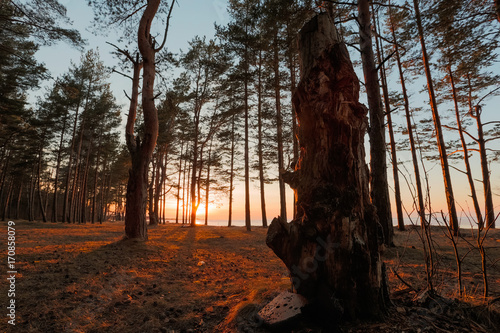 Foto op Plexiglas Chocoladebruin Golden sunset in a pine forest