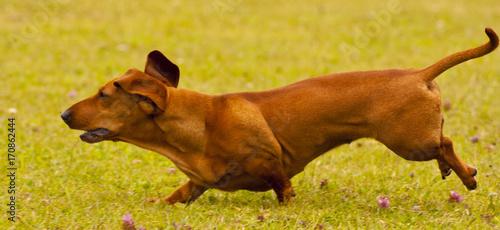 Fotobehang Honing Miniature Dachshund Running