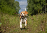 Beagle dog running around and playing with a stick - 170869465
