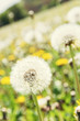 Close up photo of beutiful dandelions in meadow, beauty filter