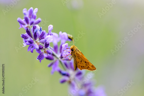 Deurstickers Vlinder Fiery Skipper (Hylephila phyleus) male on Lavender. San Mateo County, California, USA.