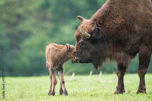 Fotobehang Bison Bison d'Europe