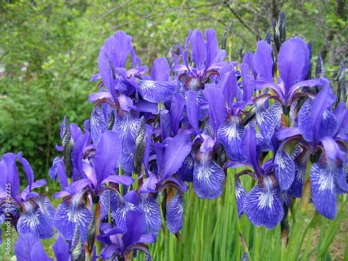 Aluminium Iris Iris flowers