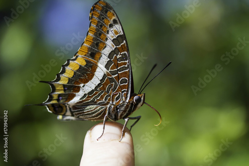 Aluminium Vlinder Two-tailed Pasha Butterfly
