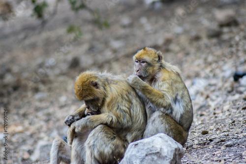 Aluminium Aap famiglia di scimmia sulle montagne dell'atlante
