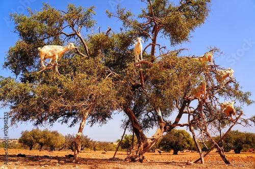 木登りするヤギ