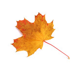 Feuille de ceriser en automne - 170970659