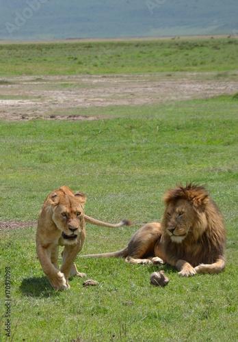 Fotobehang Lion WHAT A COUPLE - Lions - Tanzania