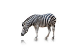 Portrait of Zebra isolated on white background(clipping path)