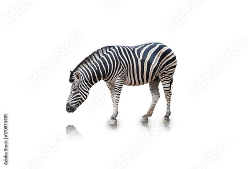 Portrait of Zebra isolated on white background(clipping path) Poster