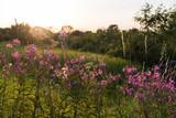 Backlit pink summer flowers