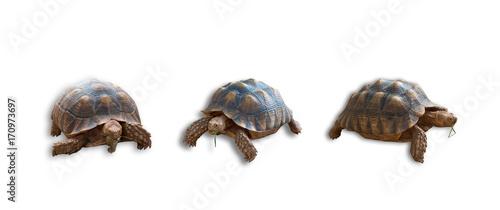Aluminium Schildpad Sulcata tortoise, African spurred tortoise isolated on white background