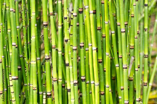 Fotobehang Bamboe Grüne Bambusstangen