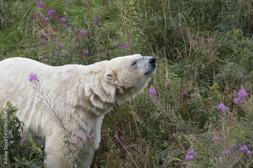 Fotobehang Ijsbeer polar bears, Ursus maritimus