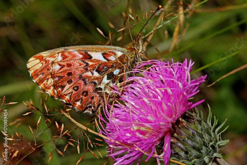 Fotobehang Vlinder farfalla variegata (Boloria titania) su un cardo