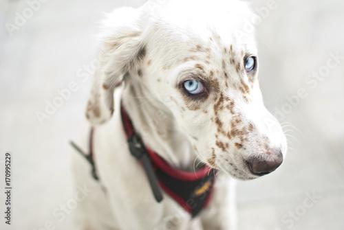 Cane occhi azzurri buy photos ap images detailview - Cane occhi azzurri ...