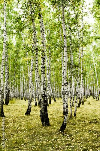 Aluminium Zomer birch forest summer landscape