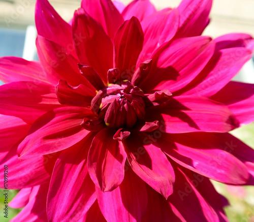 Papiers peints Rose Flower Dahlia, landscape