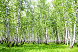 White birch trees in the forest in summer - 170999624