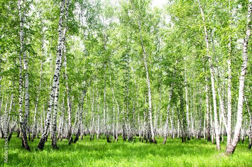 Papiers peints Bosquet de bouleaux White birch trees in the forest in summer