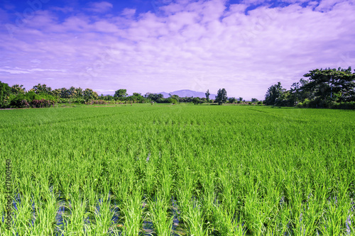 Tuinposter Purper Landscape rice field of farmer and sky