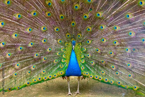 Fotobehang Pauw Indian peacock Close-up
