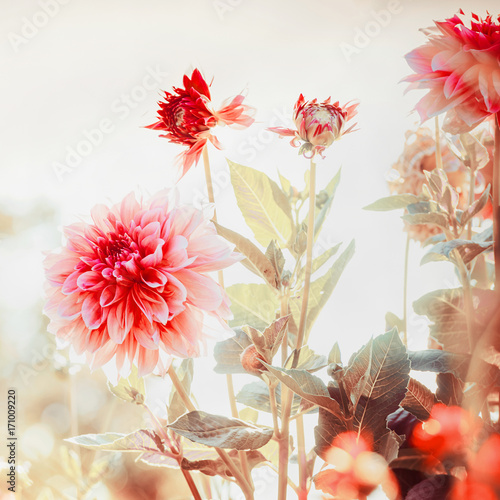Beautiful red Dahlias flowers in garden or park, square