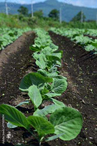 夏のブロッコリー畑