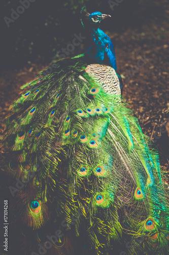 Fotobehang Pauw Peacock - Cataract Gorge - Launceston, Tasmania, Australia