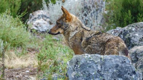 Aluminium Wolf Canis Lupus Signatus profile watching over rocks