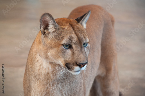 Fotobehang Lion Cougar