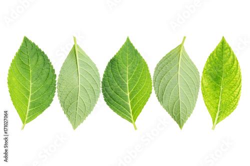 Fotobehang Hydrangea hydrangea leaf on a white background.