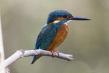 The common kingfisher (Alcedo atthis) also known as the Eurasian kingfisher is a small kingfisher. It is resident in much of its range, but migrates from areas where rivers freeze in winter. - 171029456