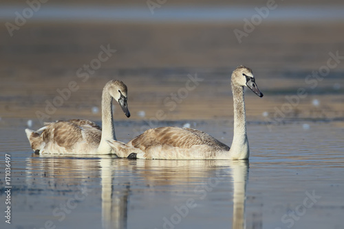 Fotobehang Zwaan A pair of young swan in soft morning light