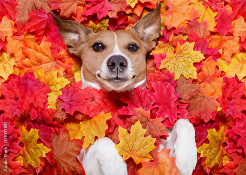 Poster Crazy dog autmn fall leaves dog